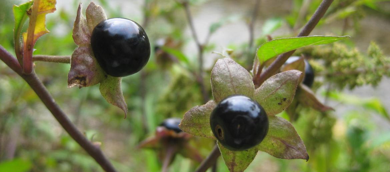 <sup>Atropa belladonna, die Tollkirsche. Foto: Dr. Grasser</sup>