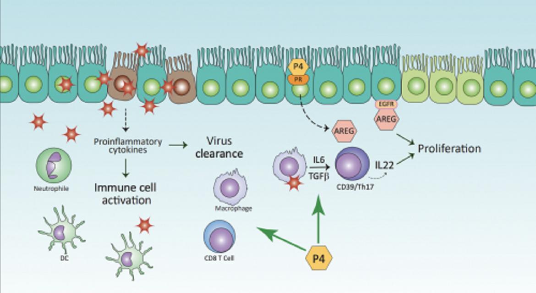 Einfluss von Progesteron (P4) auf die Immunreaktion