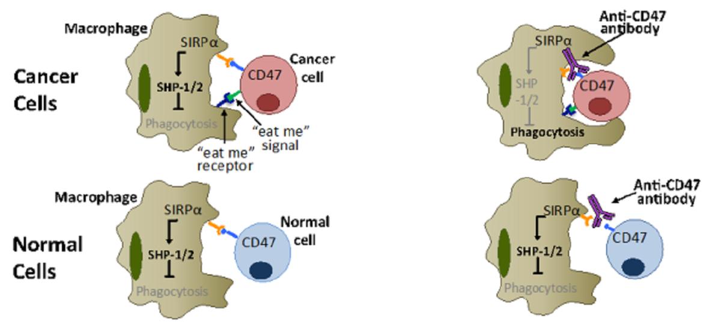 Wirkprinzip des Anti-<span>CD47</span>-Antikörpers